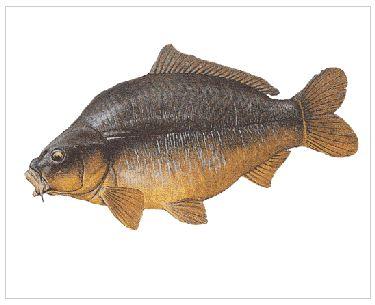 مشروع أسماك المبروك (الشبوط)